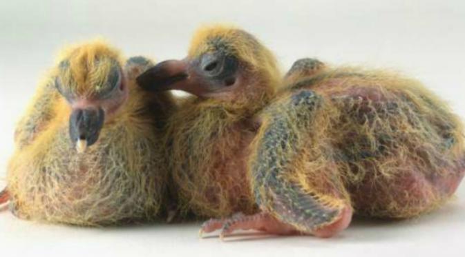 Saat bayi, merpati memiliki kulit berwarna merah muda. Mata yang tertutup dan bentuk paruhnya yang unik membuat hewan pemakan biji dan buah-buahan ini seperti bnetuk burung dodo.(Msn.com)
